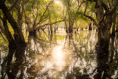 Deep Swamp (Gift of Light) Tags: rayong thailand travel nature landscape swamp outdoor explore water fluid reflection reflex sunlight morning day trees woods forest details light shadow sonyalpha sony alpha sonya7rii sonya7rmkii a7rii a7rmkii sonyfe2470mmf28gm fe gm gmaster 2470mm f28 247028 282470