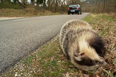 Vittime della strada (AIIex) Tags: tasso incidente road strada nikon d7100 death badger