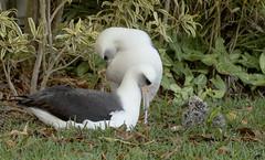 Laysan Albatross chick with 2 adults (Saburosan) Tags: princeville kauai phoebastriaimmutabilis moli