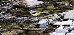Grey Wagtail (Motacilla Cinerea) (John R Woodward Photography) Tags: greywagtail motacillacinerea wagtail grey birds british water canon canon6d canondslr canonllenses canon6dwithllenses canoneos llenses shropshire nature mothernature