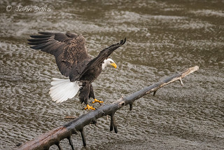 Bald Eagle 20151117_5166