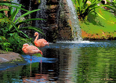 Flamingos at the Falls - Maui, Hawaii (Barra1man) Tags: flamingo flamingos flamingoes birds waterfowl tropical tropicalbirds nature wildlife falls waterfall pond maui hawaii unitedstates olympus olympusem1 iso640 lens300mm f5611000 keyline