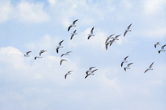 A colony of gulls in flight (malc1702) Tags: gulls nature bluesky nikond7100 tamron150600 birdsinflight free wildlife animals birds outdoor birdsinthewild birdsintheair colonyofgulls flying flickrunitedaward ngc