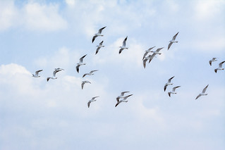 A colony of gulls in flight