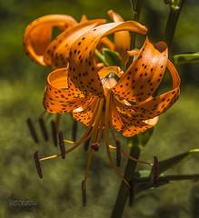 Tiger lily (ChrisKirbyCapturePhotography) Tags: tiger lily orange orangeflower