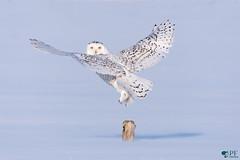 ''Coup d'oeil!'' Harfang des neiges-Snowy Owl (pascaleforest) Tags: oiseau bird animal prédateur predator owl snow neige hiver winter passion nature nikon québec canada harfangdesneige snowyowl