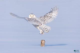 ''Coup d'oeil!'' Harfang des neiges-Snowy Owl