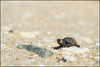 tell me about Your struggle (Nikographer [Jon]) Tags: turtle capemay newjersey themeadows 20161014d4230657 d4 nikographer small tiny baby struggle life perspective nikon tnc thenatureconservancy