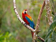 Hellroter Ara (Eerika Schulz) Tags: hellroter ara scarlet macaw macao ecuador puyo yana cocha yanacocha eerika schulz