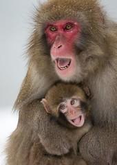 WARY JAPANESE MACAQUES by Julia Wainwright (Harrow Camera Club) Tags: animals cairngorms europe geographiclocation highlandwildlifepark japanesemacaque mammals primate scotland uk pdi28mar nature wi