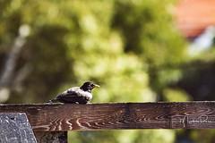Atumn. (Myphotorose-on and off.. :)) Tags: canoneos7dmarkii ef70300mmf456isusm australiannativebirds birdsinbackyards