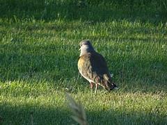dsc05170 (Mr. Pi) Tags: animals village birds argentina patagonia sarmiento