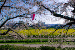 _DSC4461 (sayo-tsu) Tags: sakura cherryblossom saitama gongendopark sattecity 桜 お花見 権現堂 埼玉県