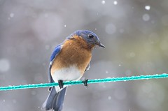 Hey you there in the window! (Bud in Wells, Maine) Tags: bluebird snowstorm spring maine birds closeup bokeh