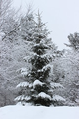Snow covered spruce (pegase1972) Tags: quebec québec canada qc spruce arbre tree nature winter neige snow hiver montérégie monteregie mcmasterville licensed shutter 500px dreamstime fotolia rf123