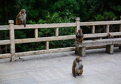 Monkeys at forest in Zhangjiajie, China (phuong.sg@gmail.com) Tags: animal ape background branch brown capuchin creature cute endangered exotic expression eyes face forest funny fur grass green hair happy head humid intelligent jungle large little male mammal monkey mouth nature portrait primate sad sitting tail tree tropical vertebrate wild wildlife young
