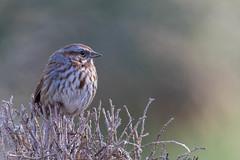 Song's Sparrow (Peter Bangayan) Tags: