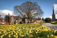 dafs at astbury (macmarkmcd) Tags: congleton daffodils villagegreen village nikon d300 18105mm