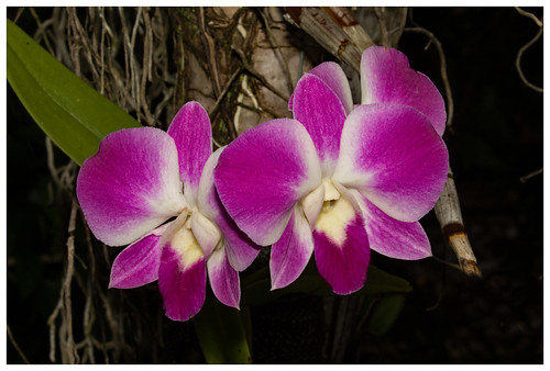 Home garden orchid.03