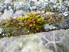 P1070375 (Fran Mengual PHOTO) Tags: moss musgo rama tree