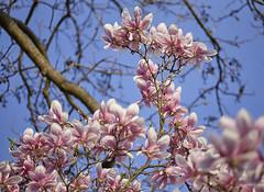 Danse autour du magnolia 19/22 (Emmanuel Cattier -) Tags: magnolia fleur plante tree fleursetplantes flower flowering arbre arbreenfleur france strasbourg alsace grandest floraison lumière printemps cattier emmanuelcattier manusoft