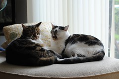 Brian and Jô cat napping (zawtowers) Tags: jô brian cat kitty feline cute adorable rest relax catnap nap relaxing snuggled resting happy content peaceful relaxed pillow sleep