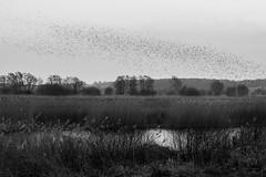 Murmuration (Spannarama) Tags: birds starlings murmuration flock reeds marsh reedbeds avalonmarshes hamwall rspbhamwall reserve dusk twilight evening somerset uk blackandwhite water reflections