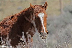 Wild Horse 2 (dwight g) Tags: canon 80d wild horse ps topaz 150500