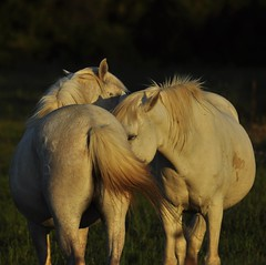 "_DSC0884 ""Tendre Camargue"" (ipon1) Tags: animaux camargue camarguefrance chardons chevaux horses mfcc nikon nikond90 sel southoffrance suddelafrance étang étangs 攝影發燒友 fabuleuse excellencedumois"
