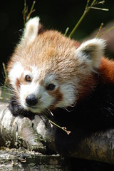 Red panda (James L Taylor) Tags: