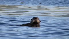 Otter Clip