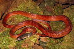 Canon G12 - Oxyrhopus melanogenys (Dgcavalheri) Tags: animals canon amazon snake herpetology g12 oxyrhopus melanogenys