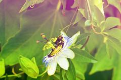 Passiflora (rupertalbe - rupertalbegraphic) Tags: italy flower nature fruit italia liguria alberto passion passiflora thx mariani varigotti rupertalbe rupertalbegraphic
