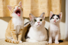 Happy days (Shing_k) Tags: japan cat chat jp gatto