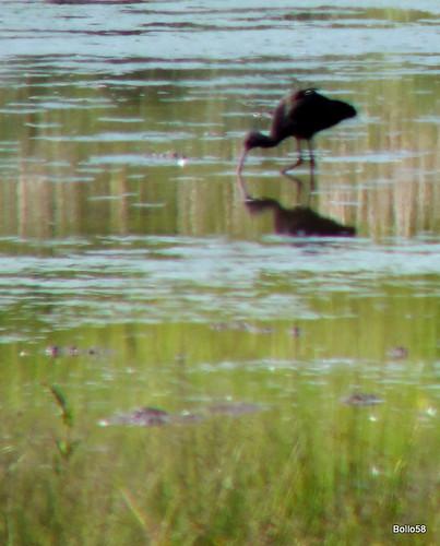 Glossy Ibis - WWT Slimbridge