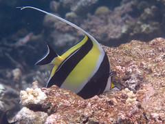 maldives 2014 (bowsawblogger) Tags: fish animals coral canon sand honeymoon indianocean scuba fantasia snorkelling bsac scubadiving padi reef maldives 2014 g16 shorediving scubascuba canong16