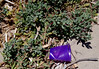 Litter and Tetragonia decumbens, Point Peron, near Rockingham, WA, 26/02/14 (Russell Cumming) Tags: plant litter perth westernaustralia rockingham aizoaceae tetragonia pointperon tetragoniadecumbens