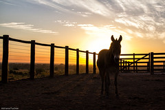 af1407_9884 (Adriana Fchter) Tags: sunset brazil horses horse beauty silhouette brasil rural caballo cheval farm country symmetry burro fries jumento cavalos ameland impressed pferde cavalo pferd finest natures equine fazenda chevaux paard paarden equino slott equines friese friesche pferden friesische professionalequineimages snogeholms