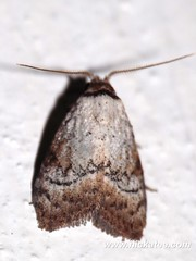 Tuft moth - Family Nolidae - NMW 19 July 2014-040 (Dis da fi we) Tags: tuftmoth nolidae belize jungle nationalmothweek nature puntagorda toledo nationalmoth mothing cottages hickatee