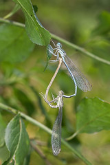 Platycnemis pennipes (Sinkha63) Tags: france macro male nature animal female couple dragonfly wildlife lot mating martel damselfly fra libellule insecta zygoptera midipyrénées agrion whiteleggeddamselfly odonate accouplement platycnemispennipes platycnemis platycnemididae agrionàlargespattes incopula bluefeatherleg annesorbes