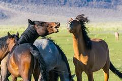 Benton Range-3282 (grclark888) Tags: horse mustangs horsetalk
