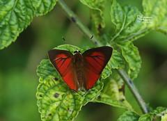 The Common Red Flash ♂ - ผีเสื้อหนอนไม้ผลแดงธรรมดา