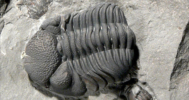 The Back to the Past Museum Trilobite viewer
