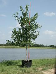 Shumard Oak 30g 7-10-14