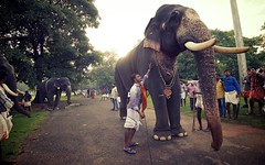 Anayoottu Thrissur Kerala (Ashit Desai) Tags: india elephant festival temple feeding south ceremony kerala ritual elephants feed thrissur trichur desai 2014 vadakkunnathan ashit vadakkumnathan aanayoottu karkkidakam anayoottu