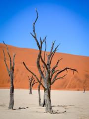 Sharp colors of the salt pan, sand dunes, and dead trees in Dead Vlei, Sossusvlei, Namibia (jbdodane) Tags: africa day622 deadvlei desert dry dunes namibnaukluft namibnaukluftpark namibia pan petrified sand sanddunes sesriem sossusvlei tree trunk vlei freewheelycom jbcyclingafrica