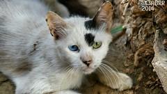 # #  # #  #Takenbyme #ksa #cat #Coloredeyes #Saudiinstagram  #Colored #eyes #Colored_eyes #Coloredeyes #beatiful #bestsnaps #shotaward #sony_official #arab_photographers #photos #igs_photos  #phototag_it #500px #photo # # (photography AbdullahAlSaeed) Tags: blue green animal animals cat photo eyes photos takenbyme colored beatiful ksa      coloredeyes   500px  arabphotographers shotaward bestsnaps sonyofficial phototagit igsphotos saudiinstagram