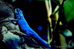 Sapphire Lizard (meepeachii) Tags: blue animal zoo lizard lowkey