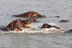 Hippos having fun (Rob Schleiffert) Tags: southafrica safari hippo stlucia isimangaliso
