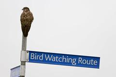 Bird Watching Route 2014-07-22 (_MG_4711) (ajhaysom) Tags: australia melbourne australianbirds beachroad brownfalcon falcoberigora pointwilson canoneos60d sigma120400